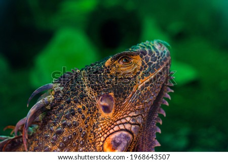 Green iguana. Iguana - also known as Common iguana or American iguana. Lizard families, look toward a bright eyes looking in the same direction as we find something new life. Selective focus. Royalty-Free Stock Photo #1968643507