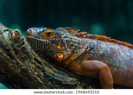 Green iguana. Iguana - also known as Common iguana or American iguana. Lizard families, look toward a bright eyes looking in the same direction as we find something new life. Selective focus. Royalty-Free Stock Photo #1968643510
