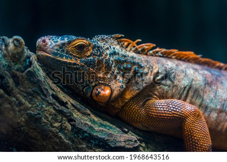 Green iguana. Iguana - also known as Common iguana or American iguana. Lizard families, look toward a bright eyes looking in the same direction as we find something new life. Selective focus. Royalty-Free Stock Photo #1968643516