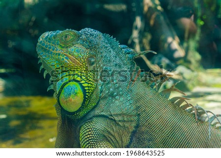 Green iguana. Iguana - also known as Common iguana or American iguana. Lizard families, look toward a bright eyes looking in the same direction as we find something new life. Selective focus. Royalty-Free Stock Photo #1968643525