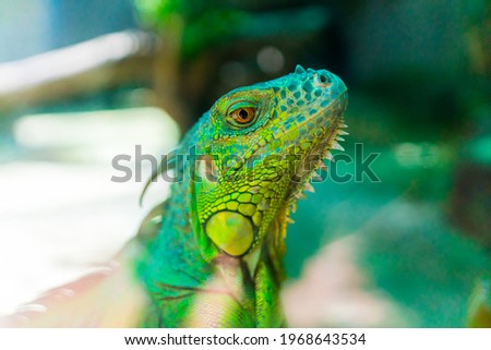 Green iguana. Iguana - also known as Common iguana or American iguana. Lizard families, look toward a bright eyes looking in the same direction as we find something new life. Selective focus. Royalty-Free Stock Photo #1968643534