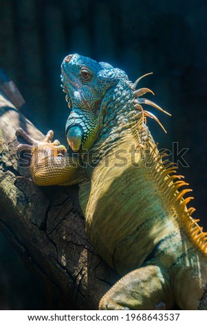 Green iguana. Iguana - also known as Common iguana or American iguana. Lizard families, look toward a bright eyes looking in the same direction as we find something new life. Selective focus. Royalty-Free Stock Photo #1968643537
