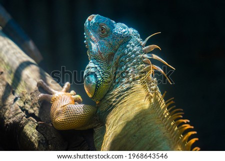 Green iguana. Iguana - also known as Common iguana or American iguana. Lizard families, look toward a bright eyes looking in the same direction as we find something new life. Selective focus. Royalty-Free Stock Photo #1968643546
