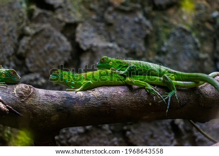 Green iguana. Iguana - also known as Common iguana or American iguana. Lizard families, look toward a bright eyes looking in the same direction as we find something new life. Selective focus. Royalty-Free Stock Photo #1968643558