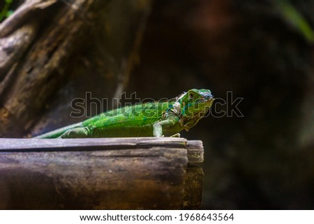 Green iguana. Iguana - also known as Common iguana or American iguana. Lizard families, look toward a bright eyes looking in the same direction as we find something new life. Selective focus. Royalty-Free Stock Photo #1968643564