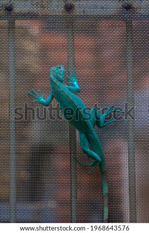 Green iguana. Iguana - also known as Common iguana or American iguana. Lizard families, look toward a bright eyes looking in the same direction as we find something new life. Selective focus. Royalty-Free Stock Photo #1968643576