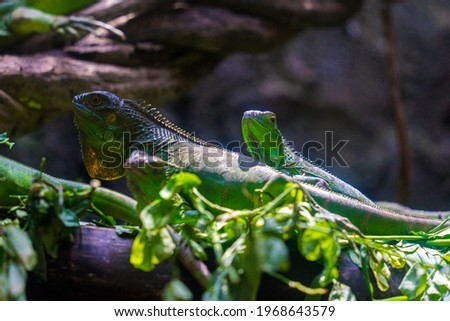 Green iguana. Iguana - also known as Common iguana or American iguana. Lizard families, look toward a bright eyes looking in the same direction as we find something new life. Selective focus. Royalty-Free Stock Photo #1968643579