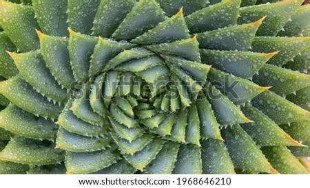 Spiral Aloe Vera Cactus, fractal background, spiral background Royalty-Free Stock Photo #1968646210