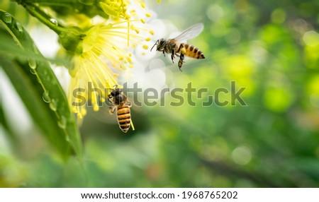 ฺBee collecting pollen at yellow flower, Bee flying over the yellow flower in blur background. Royalty-Free Stock Photo #1968765202