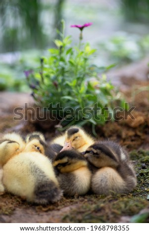 A group of ducklings nestled up to sleep