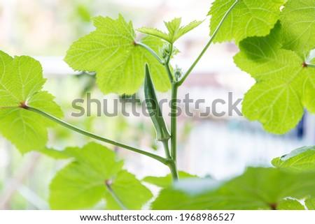 Okra vegetable on plant in farm. Okra plant growing in home garden. Okra flower