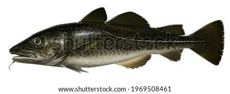 realistic digital color scientific illustration of Cod Fish in profile on white background