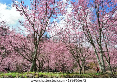 A person surrounded by trees with pink blossoms. #196955672