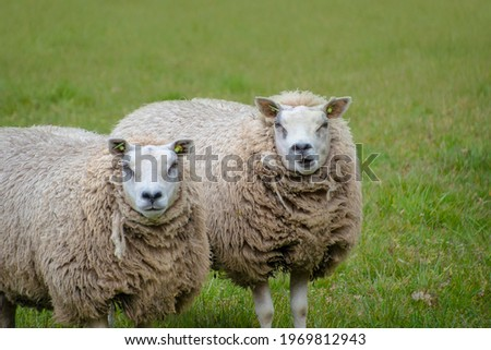 Sustainable livestock concept. Sheeps on a green field. Domestic furry and fluffy cute animals. Eco farmland, countryside, pasture. Close up portrait picture with copy space