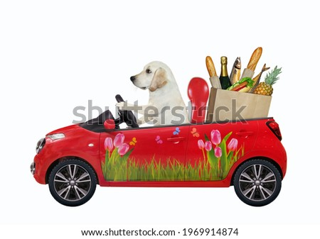 A dog labrador drives a red car with a paper bag with food. White background. Isolated.