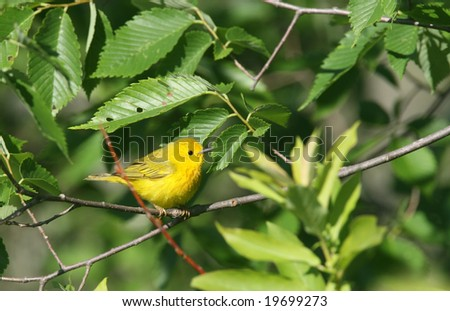 Yellow Warbler, Nature Guide Series #19699273