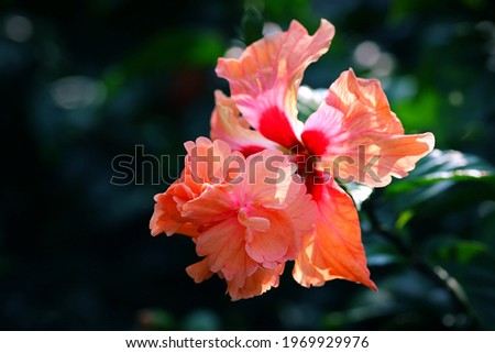 Backlighting on Peach Poodle Tail Hibiscus flower