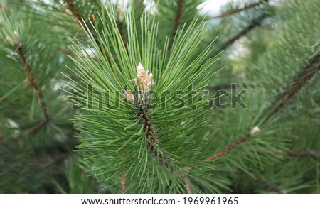 Young pine cones in a park growing in Europe. Coniferous cones. Scots pine or Scots pine Pinus sylvestris is a young male pollen flower on a tree growing in an evergreen coniferous forest. Royalty-Free Stock Photo #1969961965