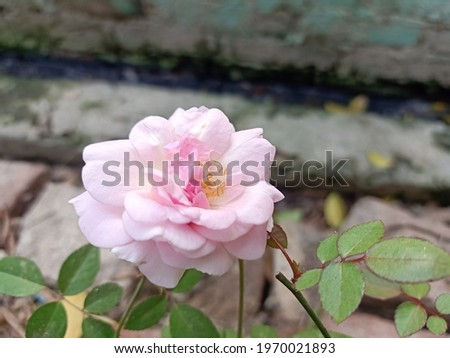 HIGH DEFINITION Pink Rose Flower (Portrait photography)