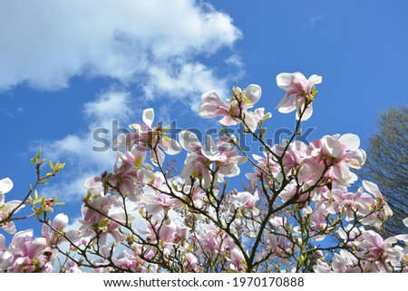 Magnolia Blossom UK High Resolution Stock Photo