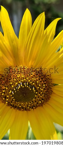 most beautiful sunflower stock images in HD