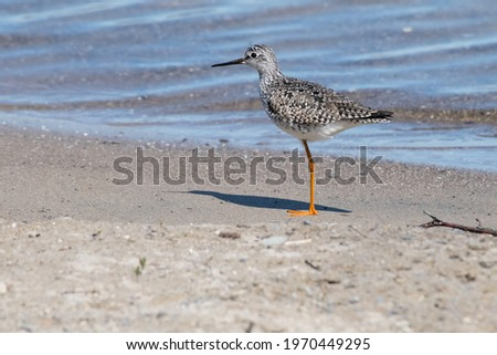 A Lesser Yellowlegs is on the beach, standing on one leg near the edge of the water. Tommy Thompson Park, Toronto, Ontario, Canada. Royalty-Free Stock Photo #1970449295