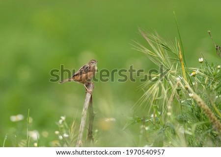 Cisticola juncidis tiny warbler bird perched in green grassland habitat Royalty-Free Stock Photo #1970540957