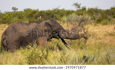 African elephant tusker in Kruger Royalty-Free Stock Photo #1970971877