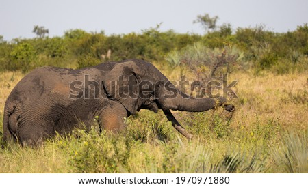 African elephant tusker in Kruger Royalty-Free Stock Photo #1970971880