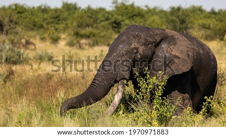 African elephant tusker in Kruger Royalty-Free Stock Photo #1970971883