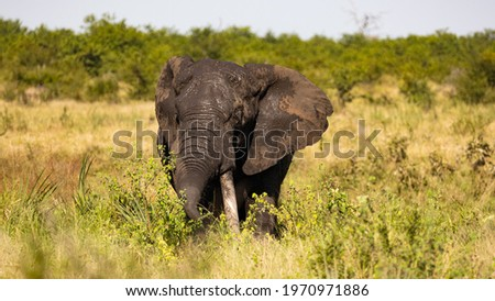 African elephant tusker in Kruger Royalty-Free Stock Photo #1970971886