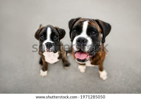 happy boxer dog and her puppy posing together, top view portraitoutdoors Royalty-Free Stock Photo #1971285050