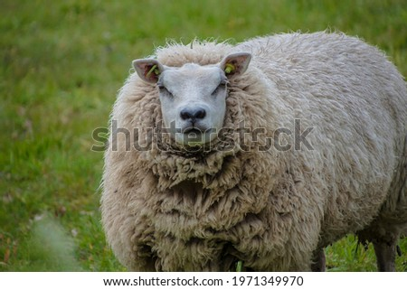Sustainable livestock concept. Sheep on a green field. Domestic furry and fluffy cute animal. Eco farmland, countryside, pasture. Close up portrait picture with copy space