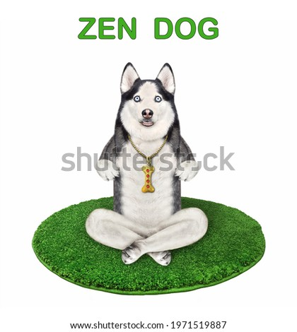A dog husky is doing yoga exercises on a green round fitness mat. Zen yoga. White background. Isolated.