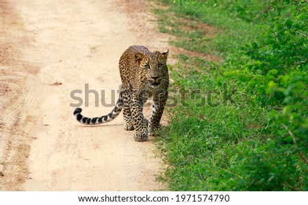 Yala National park Tissamaharama,SriLanka - November 12,2014:A picture of a leopard taken by my camera while touring the Yala National park,