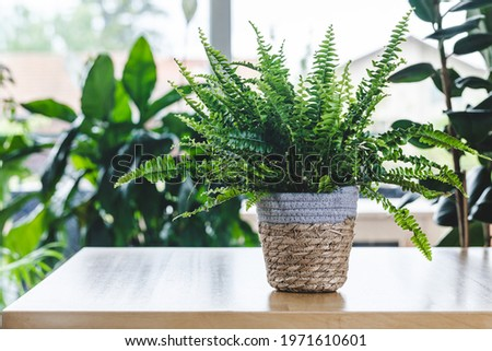 Nephrolepis exaltata (Boston fern, Green Lady) on wooden table with copy space. Nice and modern space of home interior. Cozy home decor. Home garden. Royalty-Free Stock Photo #1971610601