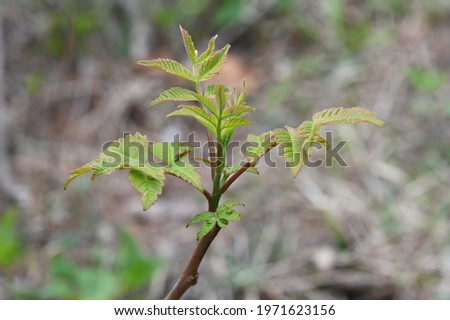 A sprouted toon in spring Royalty-Free Stock Photo #1971623156