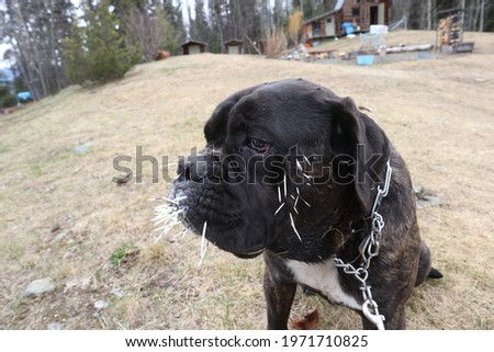 Large mastiff dog with porcupine quills  Royalty-Free Stock Photo #1971710825