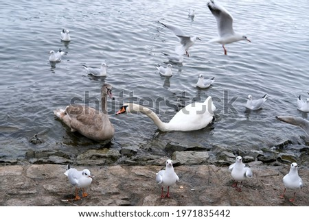 white swan, Cygnus, gray swan, mute swan, Cygnus olor, anseriformes of duck family swims among seagulls in lake Lucerne in switzerland, concept of fauna of urban water bodies, feeding of wild animals Royalty-Free Stock Photo #1971835442