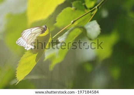 white butterfly Aporia crataegi #197184584