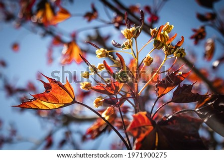 Acer rubrum, the red maple, also known as swamp, water or soft maple, the blooming maple tree with bright red flowers, close up of winged seeds Royalty-Free Stock Photo #1971900275