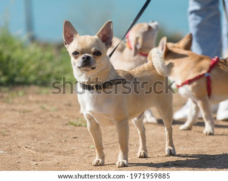Chihuahua for a walk outdoors. Portrait of a young dog.