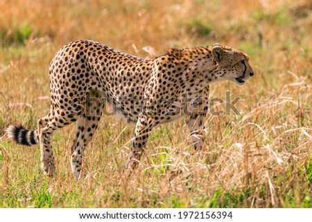 picture of a cheetah in the forest