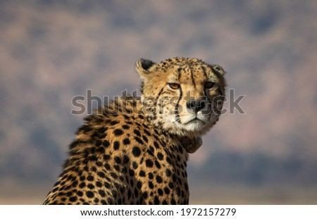 picture of a cheetah in the jungle
