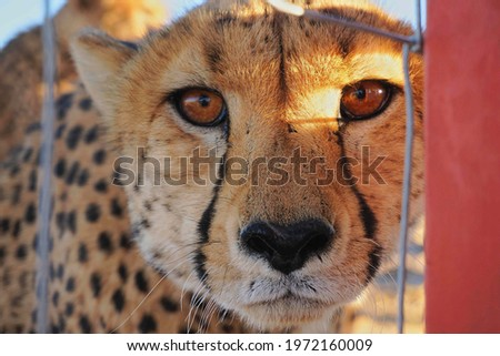 picture of a cheetah face