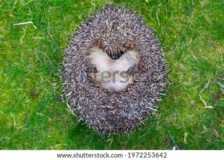 Wild British Hedgehog released out into the wild in woodland endangered species conservation Royalty-Free Stock Photo #1972253642