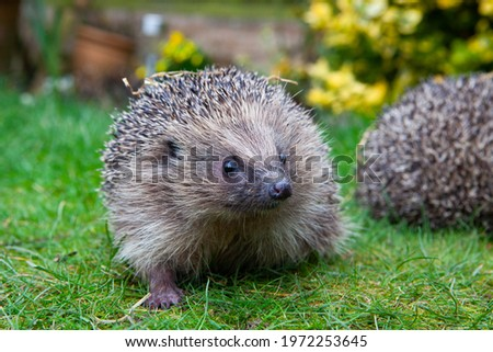 Wild British Hedgehog released out into the wild in woodland endangered species conservation Royalty-Free Stock Photo #1972253645