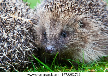Wild British Hedgehog released out into the wild in woodland endangered species conservation Royalty-Free Stock Photo #1972253711