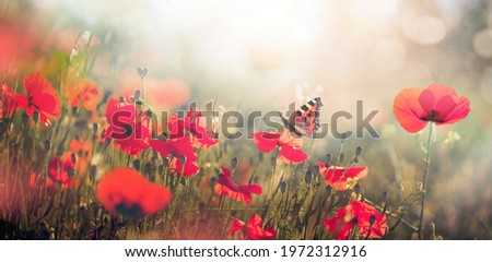 Natural landscape with blooming field of poppies at sunset. Poppies flowers and butterfly in nature in morning sunlight.