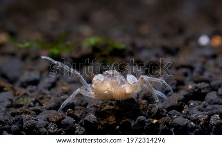 Little Spider dwarf crab or Thai micro crab shows its legs and look for food in aquatic soil with dark background in freshwater aquarium tank. Royalty-Free Stock Photo #1972314296